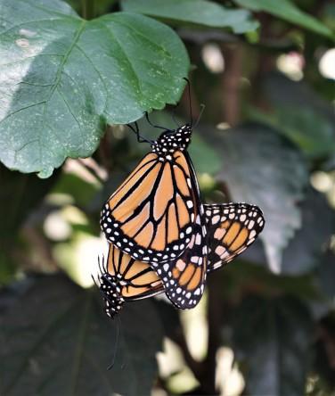 Mackinaw butterflies mating