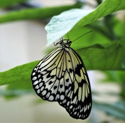 Mackinaw butterfly black and white