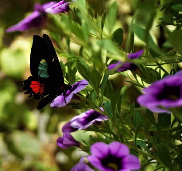 Mackinaw butterfly black