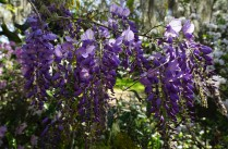 Wisteria hung all over the place