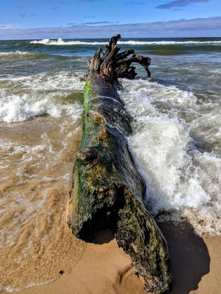 Huge tree washed up on shore