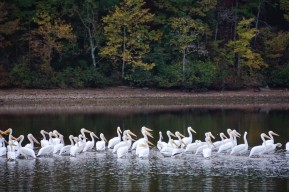 Pelicans on Pickwick Lake